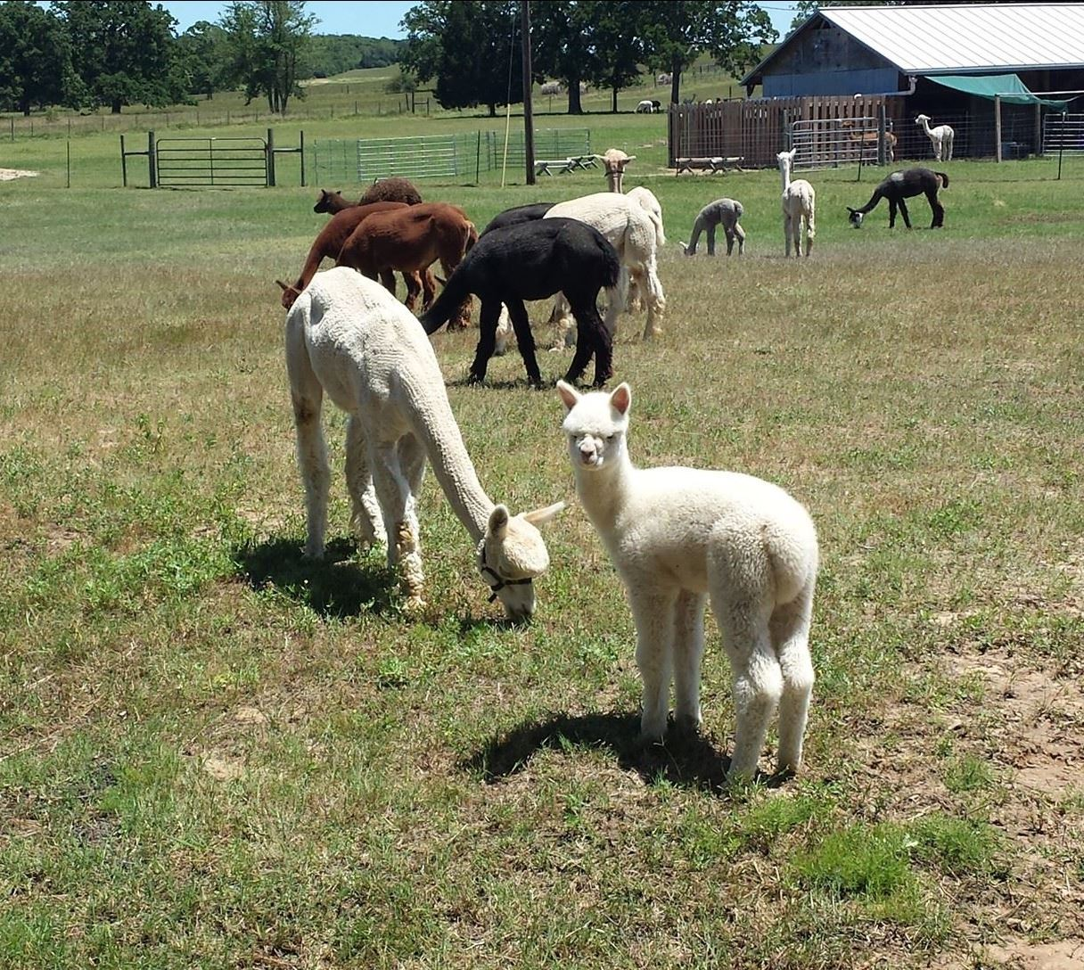 Hummers Homestead Alpaca photo of alpacas Opens in new window